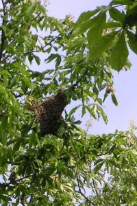 Ein Bienenschwarmplatz an Kastanie über einer Wasserader in Drüggelte